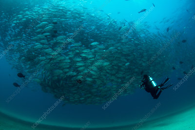 Diver swimming with school of jack fish, Mexico
