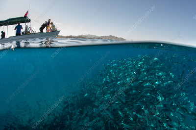 School of jack fish swimming, Mexico