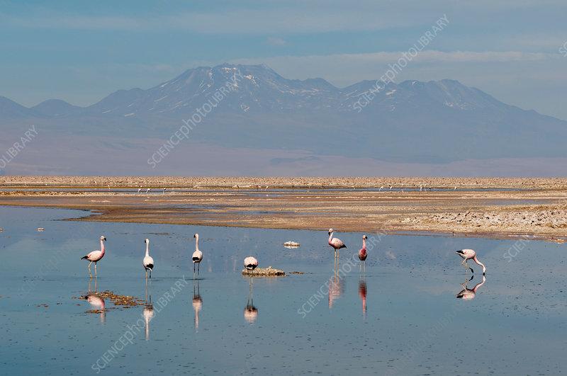 Chilean Flamingos (Phoenicopterus chilensis), Chile