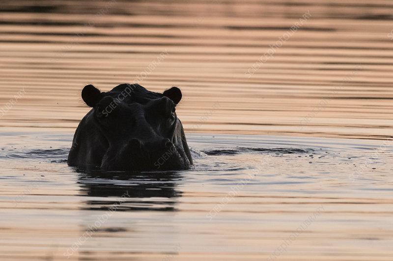 Hippopotamus (Hippopotamus amphibius), Botswana