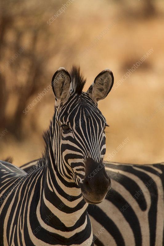 Zebra, Equus burchelli, Serengeti National Park, Tanzania