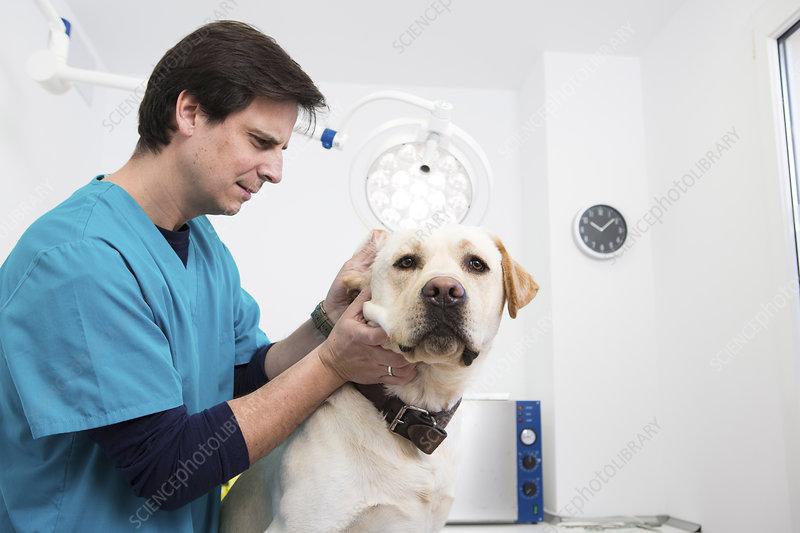 Vet giving labrador retriever ear checkup