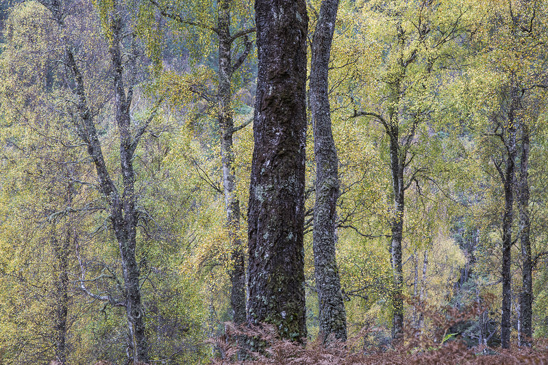 Idyllic autumn trees in woods, Glen Affric, Scotland