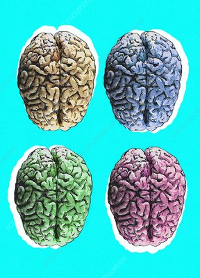 Human brains, illustration
