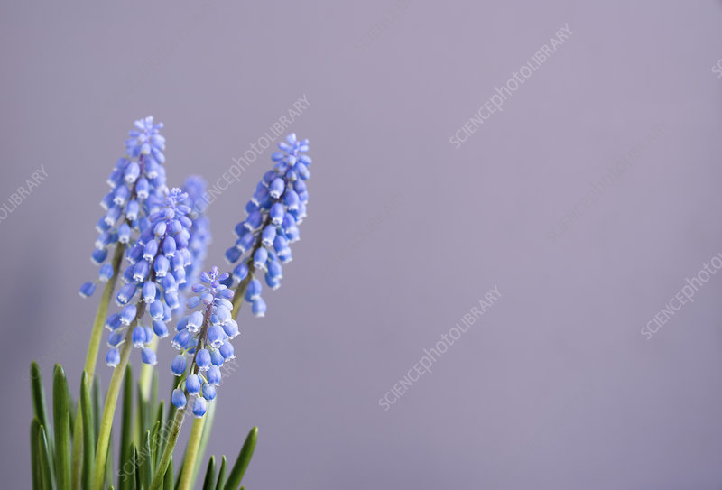 Grape hyacinth (Muscari sp) flowers