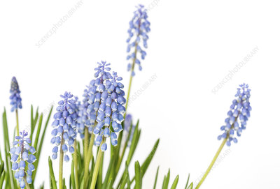 Grape hyacinth (Muscari sp.) flowers