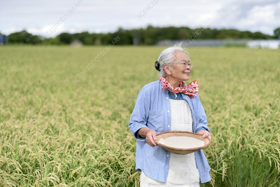 Woman in rice field, holding bowl with harvested rice grains