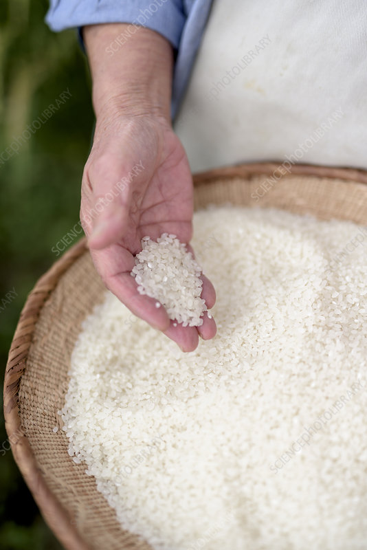 Human hand holding bowl with freshly harvested rice grains