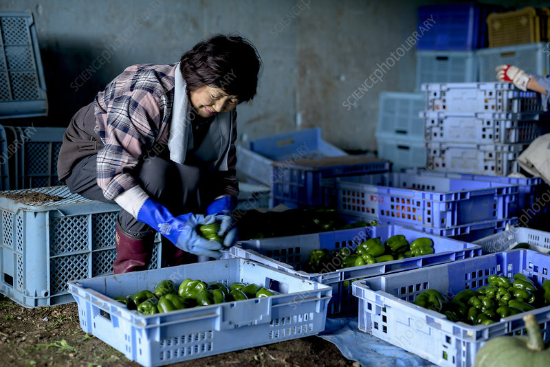 Woman sorting freshly picked green peppers
