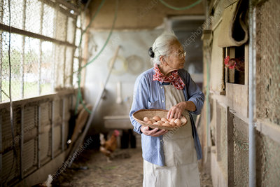 Woman in chicken house, with basket, collecting fresh eggs