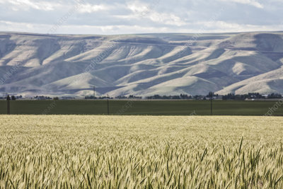 Wheat field areas of eastern Washington, USA