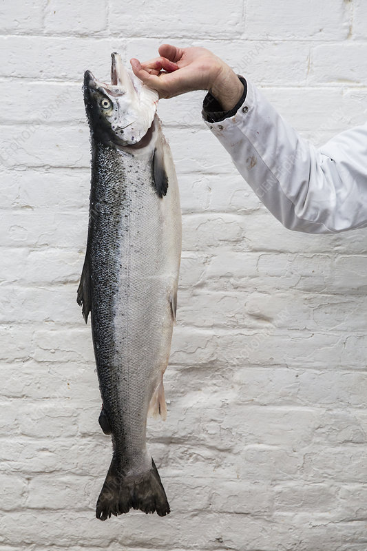 Close up of fishmonger holding aloft fresh salmon