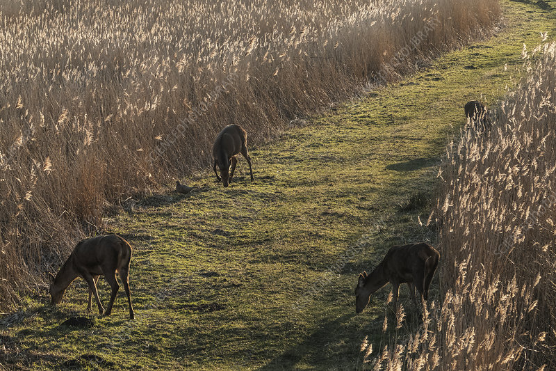 Deer grazing along a narrow grass trail lined by tall reeds