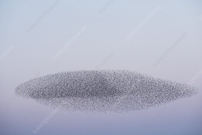 Murmuration of starlings, swooping mass of birds in the sky