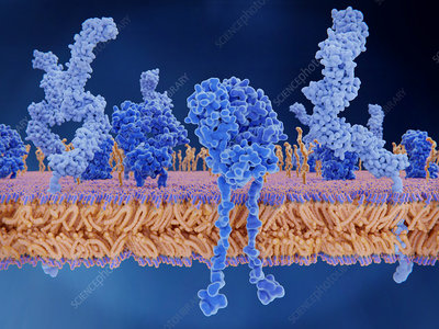 T cell receptor and CD4 proteins, illustration