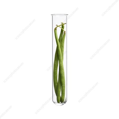 French beans in test tube