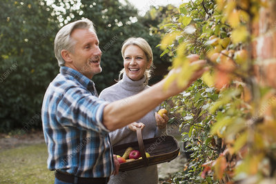 Mature couple harvesting apples in garden