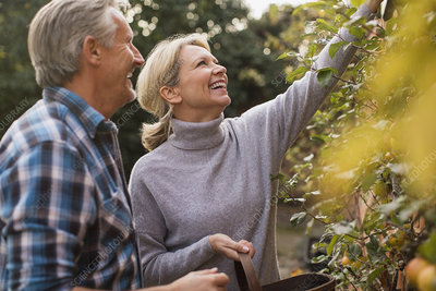 Smiling mature couple harvesting apples in garden