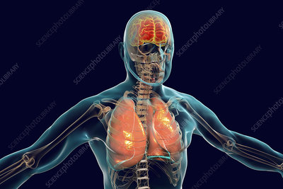 Brain and lungs inside human body, illustration