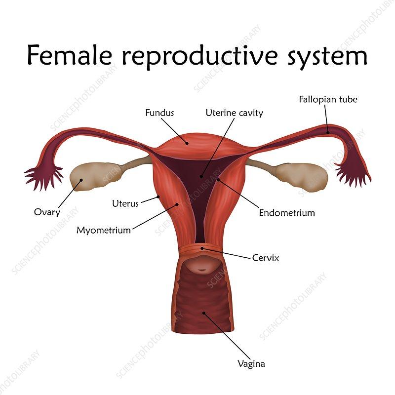 Female Reproductive System Illustration Stock Image F0224179