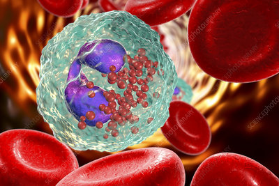 Eosinophil white blood cell, illustration