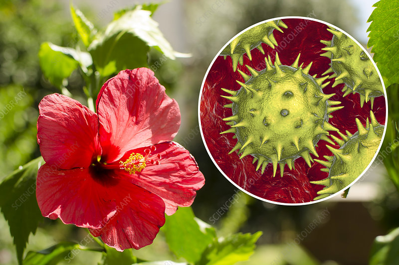 Hibiscus Flower And Pollen Grain Composite Image Stock Image