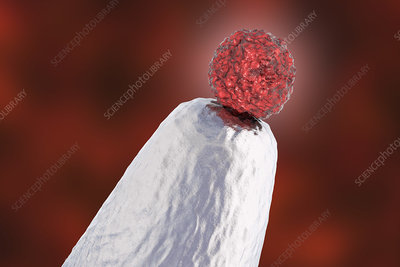 Human embryonic stem cell on a pin tip, conceptual illustrat