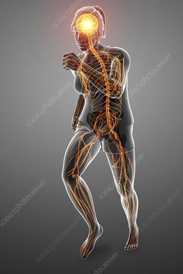 Nervous system, illustration