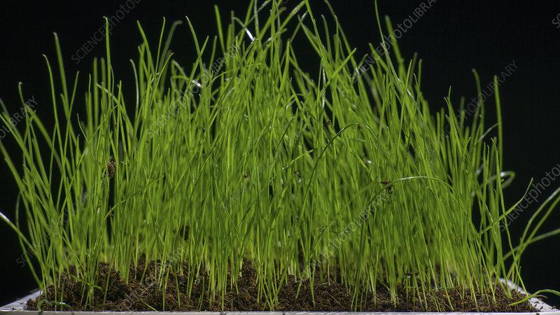 Grass growing in pot