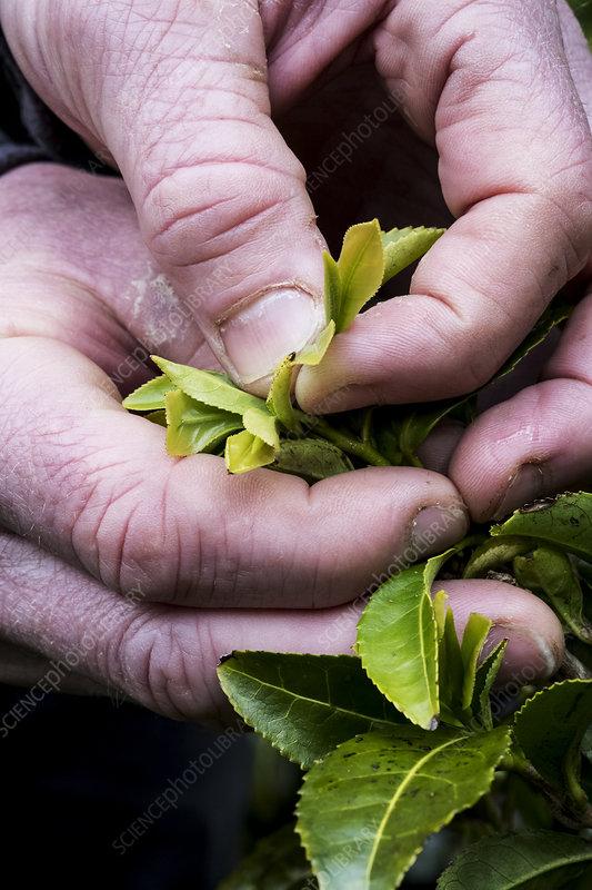 Person holding freshly harvested green tea leaves