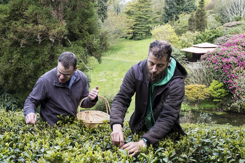 Two men picking tea leaves on an English plantation