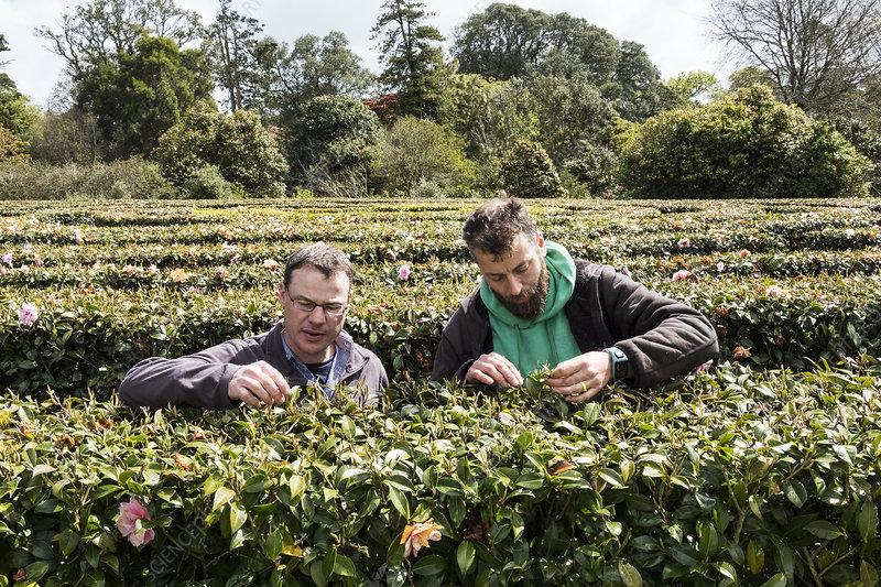 Two men standing in tea plantation carefully picking leaves