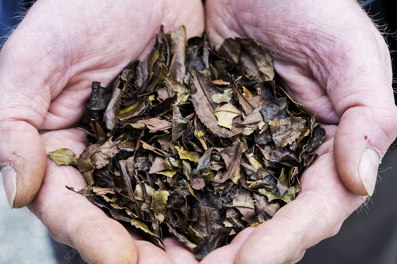 Person holding small heap of dried brown tea leaves