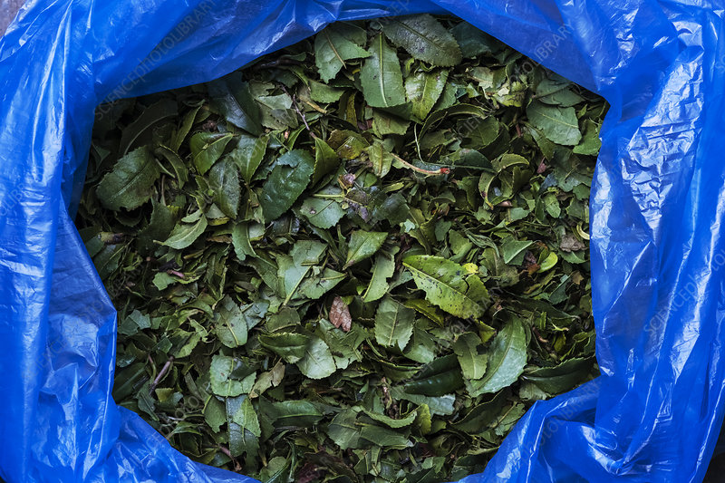 High angle green tea leaves in blue plastic bag