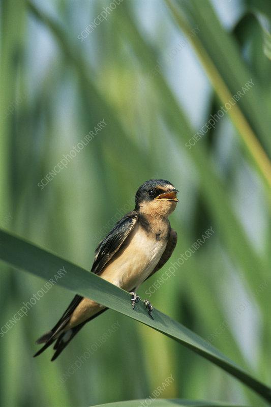 Barn swallow juvenile perched, Texas, USA - Stock Image ...