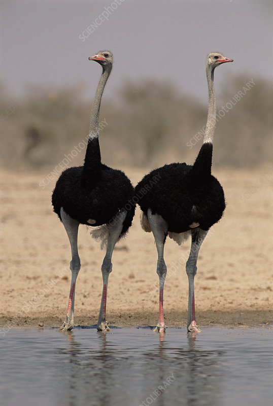 Two male Ostrich at a waterhole