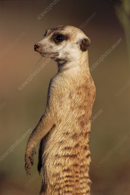 Meerkat on guard, Kruger National Park, South Africa