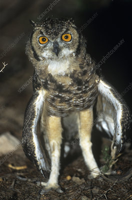 Spotted eagle owl with wings spread for cooling