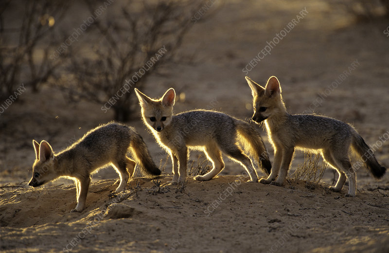 Cape fox cubs, Kgalagadi Transfrontier Park, South Africa