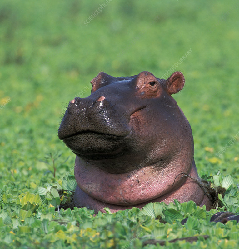 Hippopotamus surrounded by water lettuce