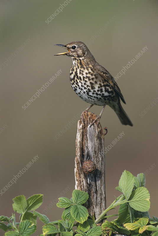 Song thrush singing, South Uist, Scotland, UK