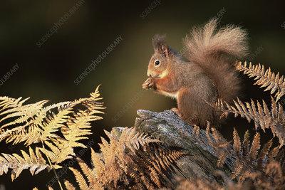 Red squirrel in autumn, Strathspey, Scotland, UK