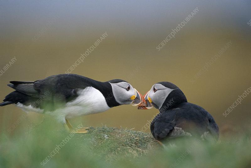 Puffins pair bonding, Western Isles, Scotland, UK