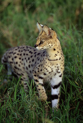 Adult male Serval stalking prey in long grass