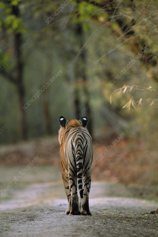 Rear view of male Bengal tiger walking on track