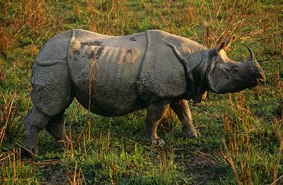 Female Indian rhinoceros profile