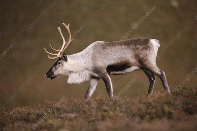 Reindeer captive, Cairngorms, Scotland, UK
