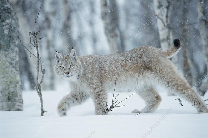 European lynx walking in birch forest in snow