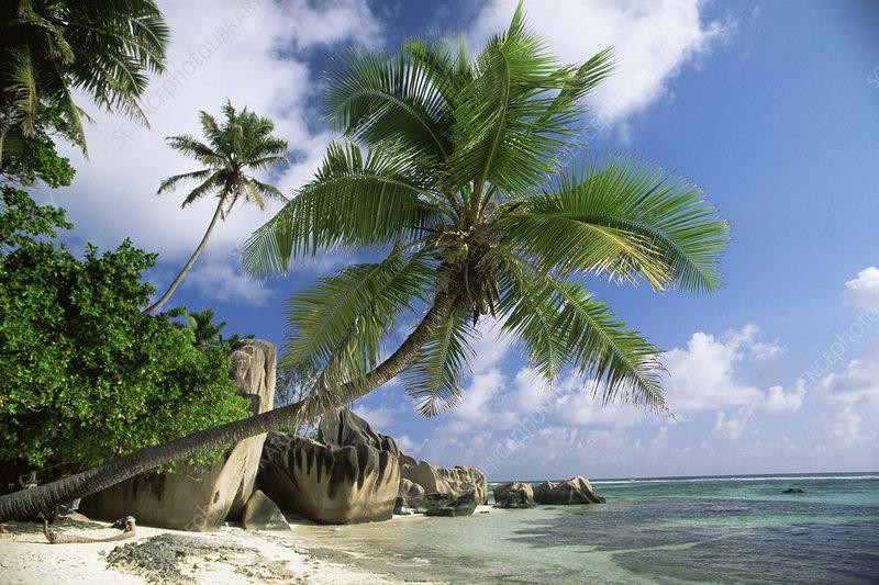 Coconut palm tree overhanging beach, La Digue, Seychelle