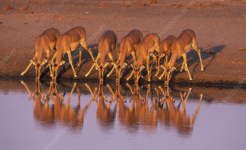 Black faced impala drinking, Etosha National Park, Namibia